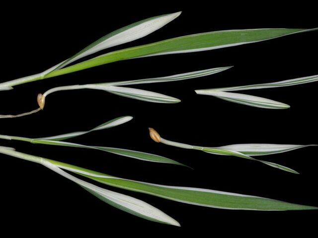 The picture shows an albostrians barley.