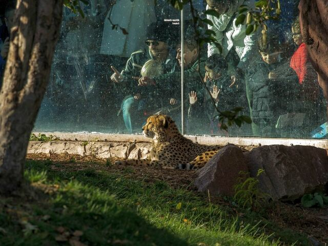 The picture shows a cheetah in the zoo.