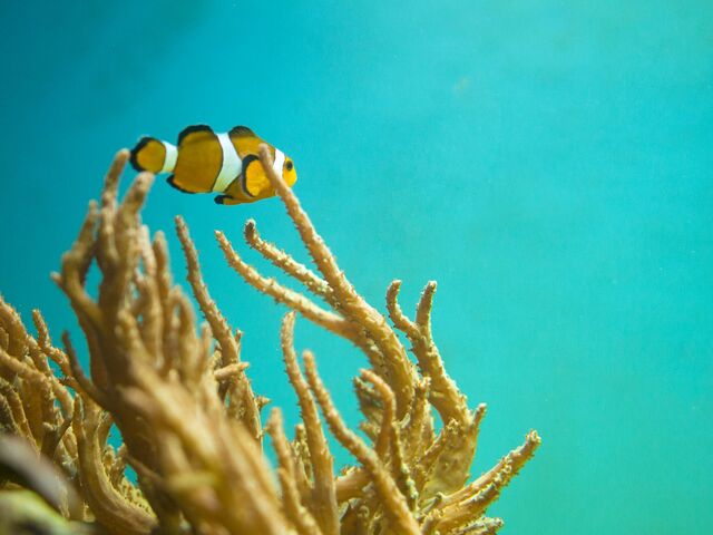 The picture shows a Clownfish.