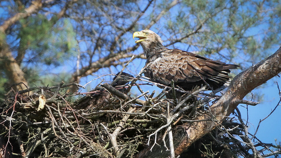 The picture shows a sea eagle nest.