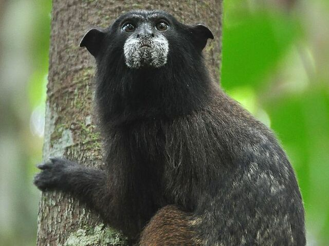 The picture shows a black-fronted tamarin in the rainforest of Peru.