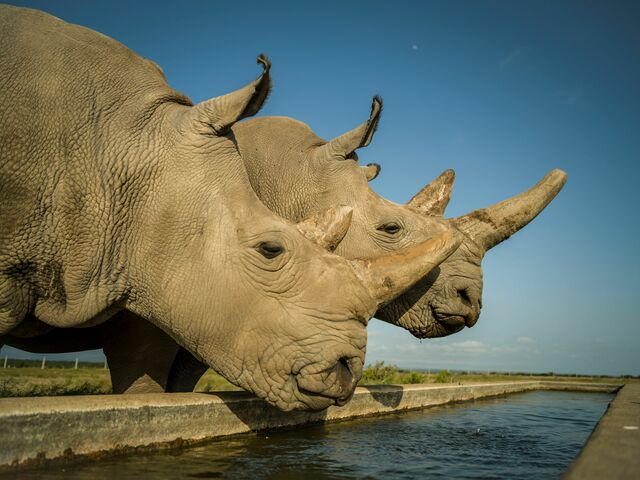 The picture shows the last two northern white rhinos on the planet.