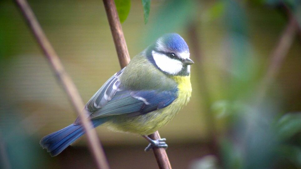The picture shows a Eurasian blue tit.